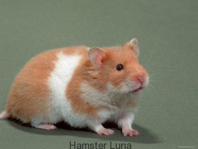 hamster bear 22