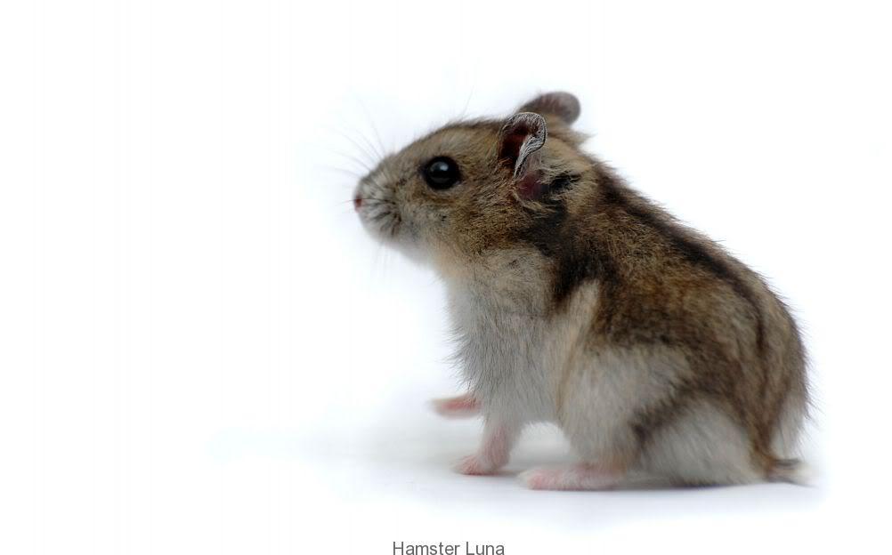 hamster_soc