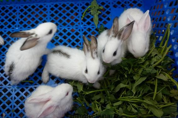 thỏ kiểng