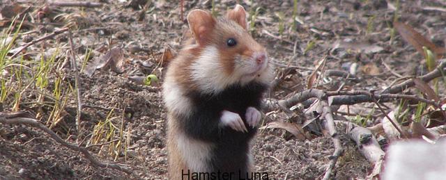 hamster-da dang
